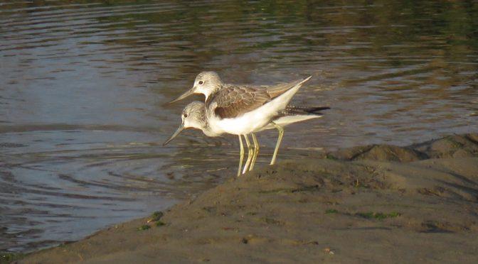 Las limícolas: Amigos y aves en las marismas de Santoña, Victoria y Joyel, en Cantabria