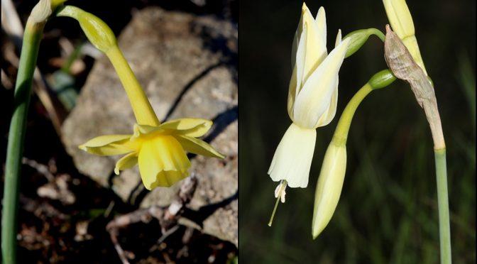 Socios del IAN-ANI descubren dos nuevas especies de Narcisos híbridos