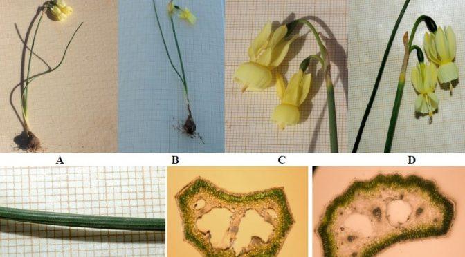Observaciones nomenclaturales sobre Narcissus pallidulus GRAELLS